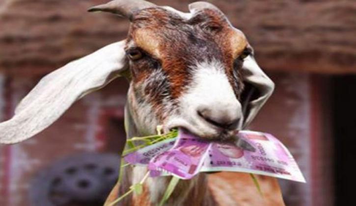 ماعز تأكل نقود صاحبها المدخرة لشراء أرض لیشویها صاحبها!