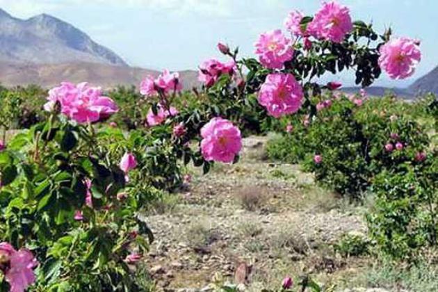برگزاری نخستين جشنواره گل محمدي در استان قم