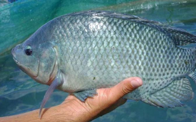تاکید رئیس سازمان جهاد کشاورزی قم بر پرورش ماهی تیلاپیا